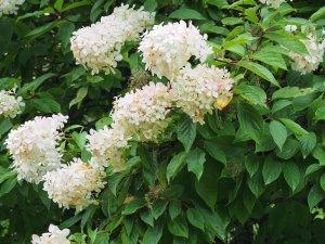 Hydrangea paniculata 'White Lady'