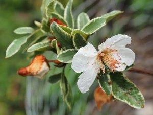 Eucryphia x nymansensis 'Nymans Silver'