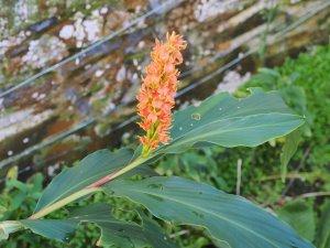 Hedychium densiflorum 'Assam Orange'