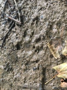 Otter paw in mud