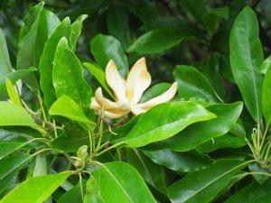 Magnolia virginiana 'Satellite'