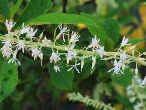 Clethra tomentosa 'Cottondale'