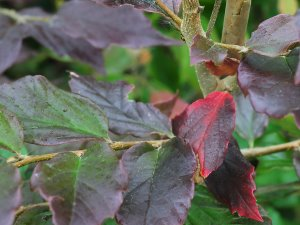 Sycoparrotia 'Purple Haze'