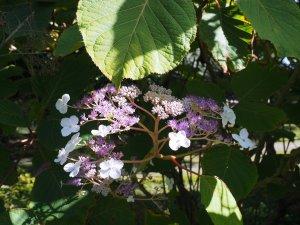 Hydrangea aspera ssp. robusta