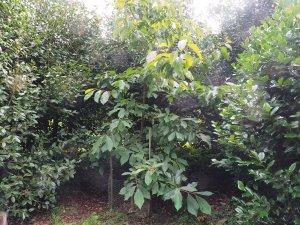 Alniphyllum aff. eberhardii