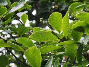 Ehretia dicksonii
