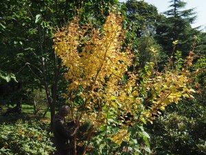Acer erythrocladum