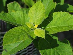 Ehretia macrophylla