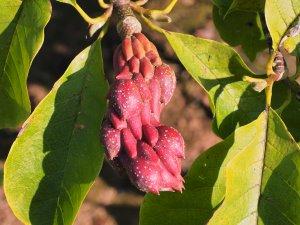 Magnolia 'Atlas' x Magnolia 'Vulcan'