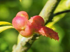 Magnolia kobus 'Octopus'