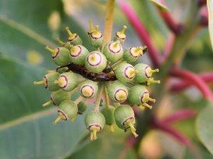 Schefflera enneaphylla