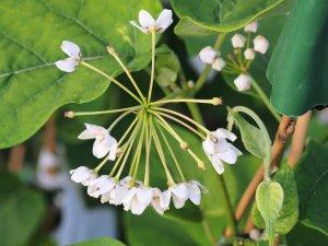 Dregia sinensis