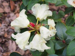 Rhododendron 'Bowjingles'