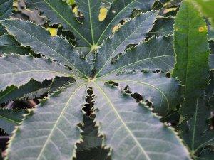 Brassaiopsis hispida