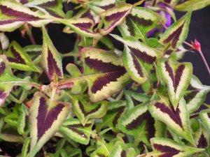Persicaria 'Purple Fantasy'