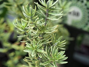 Westringia fruiticosa 'Variegata'