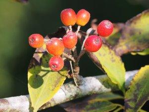 Photinia villosa var. laevis