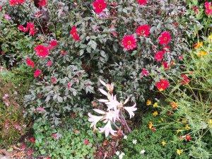 Amaryllis belladonna and Dahlia 'Bishop of Llandaff'