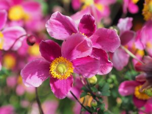Anemone hopehensis 'Hadspen Abundance'