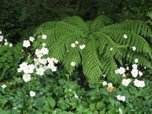 Dicksonia antarctica and Anemone x hybrida 'Honorine Jobert'