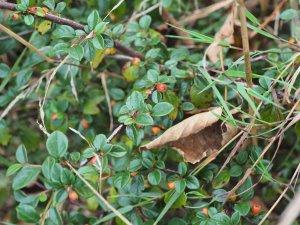 Cotoneaster rokujodaisanensis