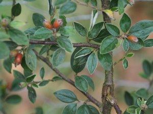 Cotoneaster teigiashenensis