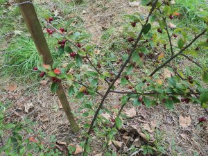 Cotoneaster tengyuehensis