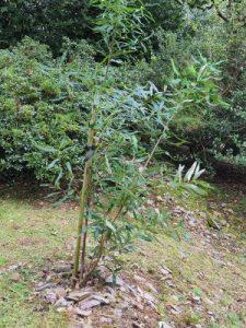Embothrium lanceolatum