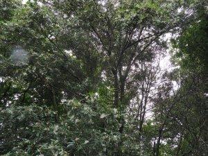 Eucryphia moorii