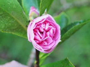 Camellia sasanqua 'Showa no sakae'