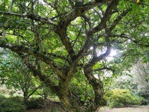 Cotoneaster frigidus 'Inchmery'