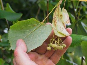 Tilia tomentosa 'Petiolaris'