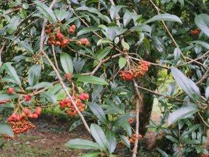 Photinia davidiana