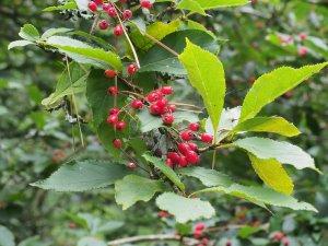 Malus prunifolia perhaps or Malus hupehensis
