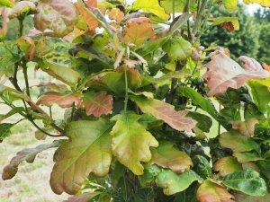 Quercus x warei 'Chimney Fire'