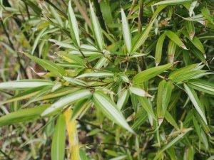 Phyllostachys aurea 'Argenteovariegata'
