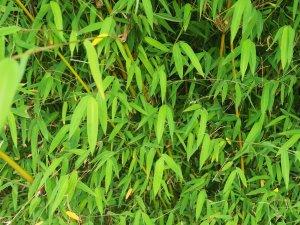 Himalayacalamus falconeri