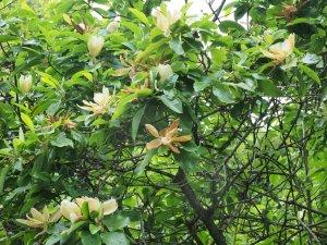 Magnolia x thompsoniana