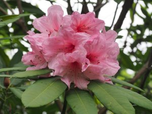 Rhododendron 'Dragonfly'