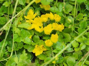 unknown as yet wild flower