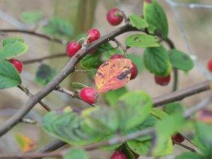 Cotoneaster rhytidophyllus
