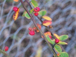 Cotoneaster fangianus