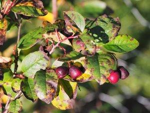 Cotoneaster wilsonii