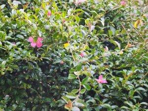 darker pink Camellia sasanqua
