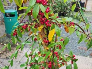 Cotoneaster Hybridus Pendulus