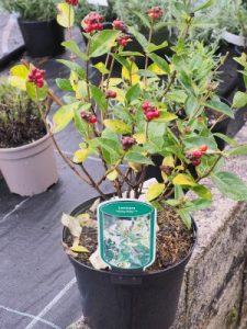Lonicera periclymenum 'Honey Baby'