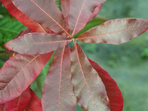 Quercus imbricata