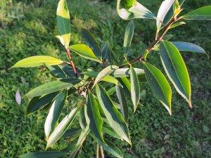 Ilex fargesii subsp. fargesii var. fargesii