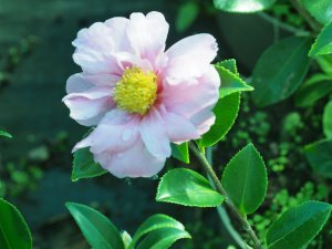 Camellia x oleifera 'Winter's Joy'