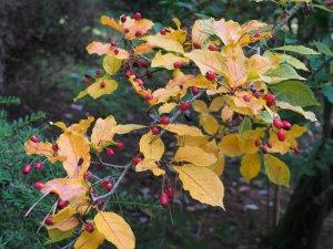 Sorbus/Malus (?)
